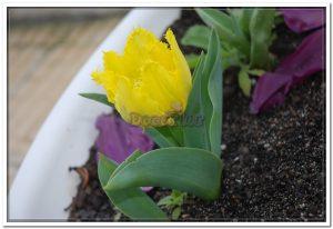 Doceflor com tulipas2